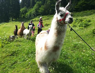 Hiking with lamas & alpacas